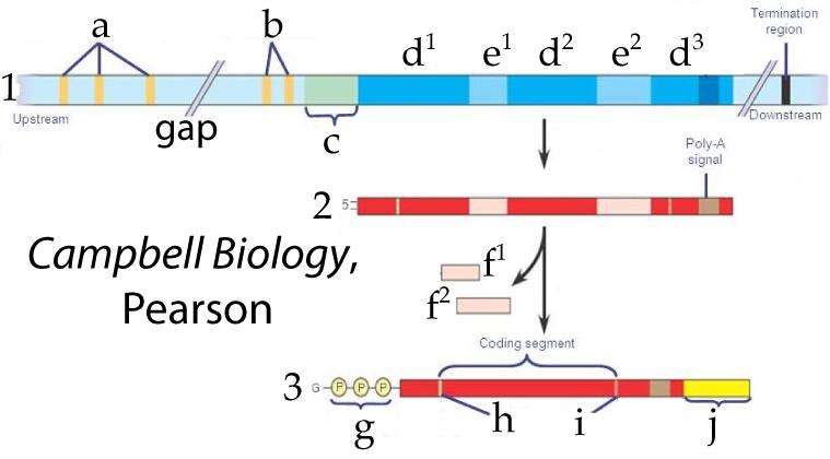 Eukaryotic Gene Expression 3: Post Transcriptional